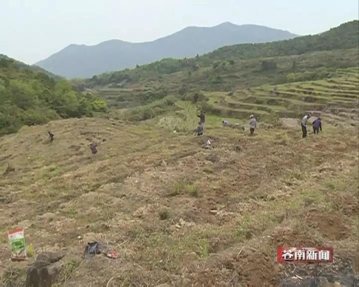 今年,温州市首个构树扶贫基地在苍南县凤阳畲族乡落成.