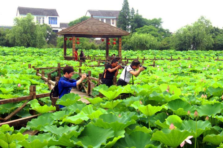 乡村处处是风景   峰江下陶荷花喜迎客