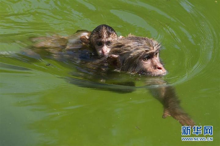 7月13日,在南京红山森林动物园,猴子在水塘里游泳.