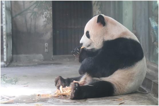 熊猫,大象,棕熊,黑熊,狮子等动物的室外活动场还配有大水池供其洗澡