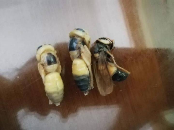 小清新粉丝花朵藤蔓分割线 结实的防护服可以抵御马蜂的攻击