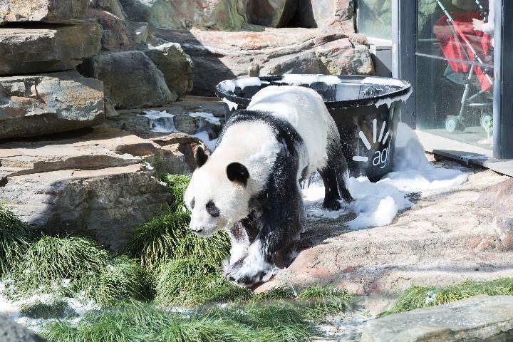 """大熊猫""""网网""""和""""福妮""""2009年11月漂洋过海来到这里,是定居南半球的第"""