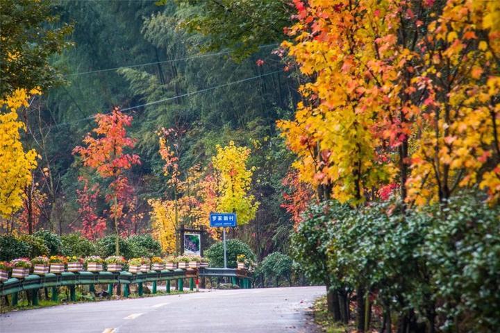 一到赏枫季节,七里乡大头村公路沿线两侧,就被枫叶装扮得格外美丽.