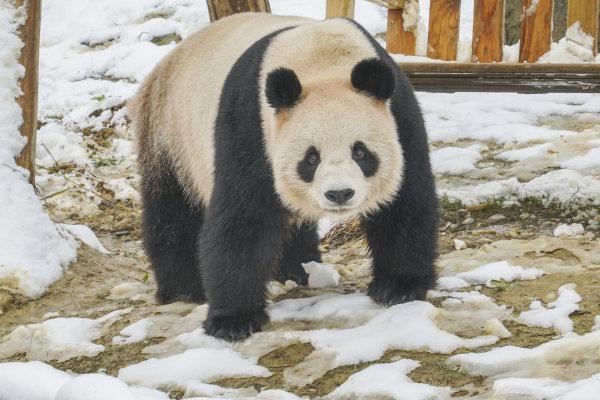 杭州野生动物世界:让我在雪地里撒个野