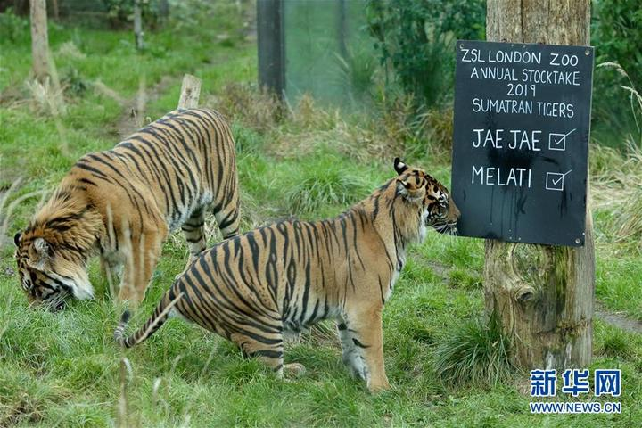 1月3日,在英国伦敦动物园,一名饲养员盘点双峰骆驼。 当日,英国伦敦动物园对园内饲养的600余种动物进行一年一度的大盘点。  这是1月3日在英国伦敦动物园拍摄的两头苏门答腊虎。  1月3日,在英国伦敦动物园,一名饲养员盘点松鼠猴。  1月3日,在英国伦敦动物园,一名饲养员展示金丝蜘蛛。  1月3日,在英国伦敦动物园,一名饲养员盘点企鹅。  1月3日,在英国伦敦动物园,一名饲养员盘点侏儒山羊。