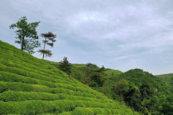 数千亩茶园气势恢宏 东白山茶场风景如画
