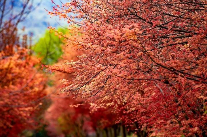吴兴这片枫叶林红了!图片