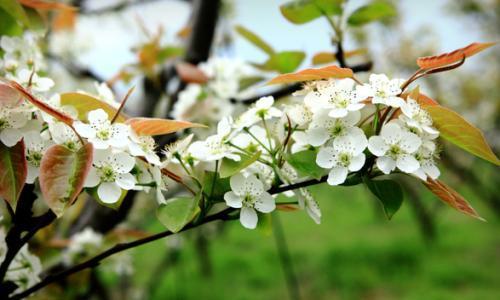 梨花3.jpg