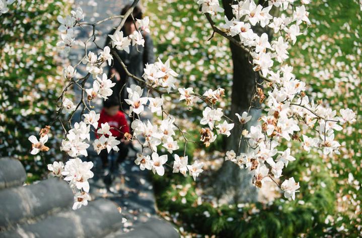 """中山公园玉兰盛放 尽享美好""""春""""色"""