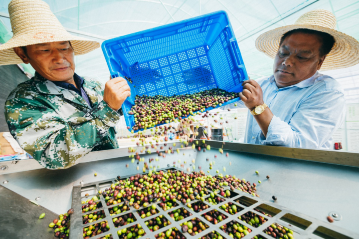 丰收!地中海的油橄榄 长到了浙西南