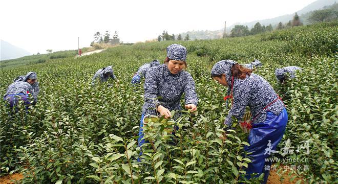 """永嘉三江行禅村计划打造中国""""乌牛早茶""""第一村"""