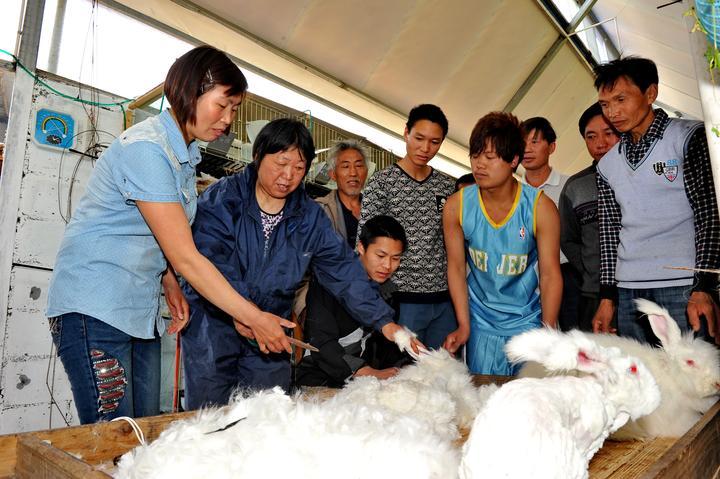 长毛兔养殖场里,兔农在学习长毛兔的养殖和剪毛技术。.jpg