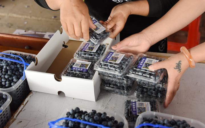 小小蓝莓果 百姓增收致富果7.jpg