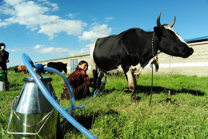 现代化牦牛挤奶.jpg