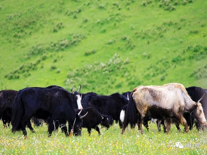 红原成群的牦牛.jpg