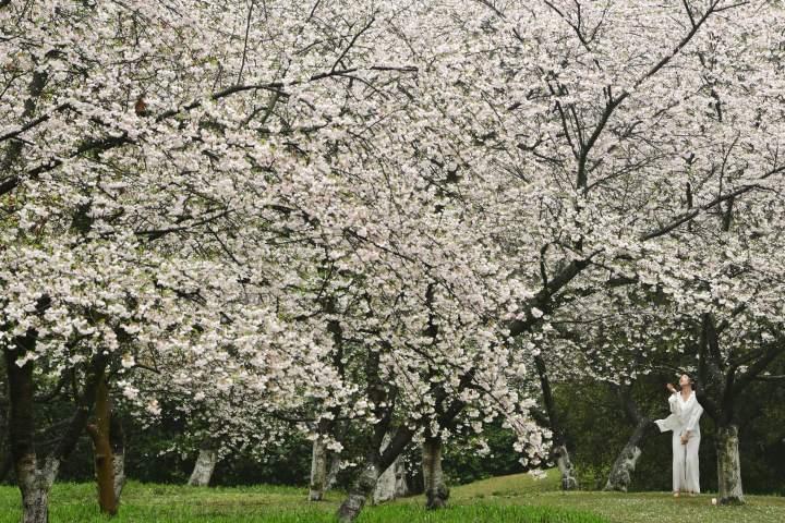 西湖樱花之约(里尔摄影)2.jpg