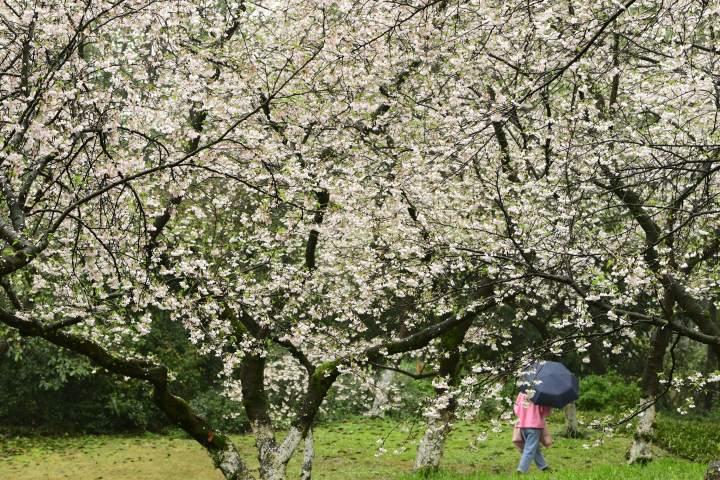 西湖樱花之约(里尔摄影)3.jpg