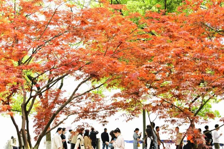 西湖枫红(里尔摄影)1.jpg