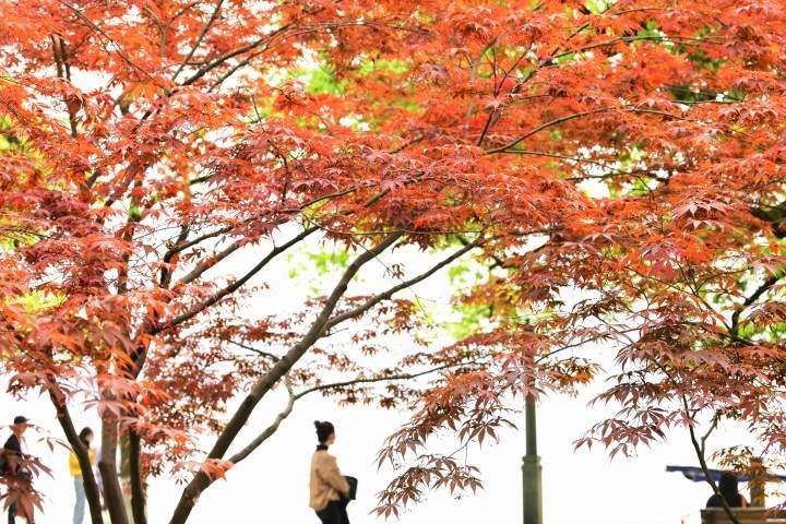 西湖枫红(里尔摄影)2.jpg