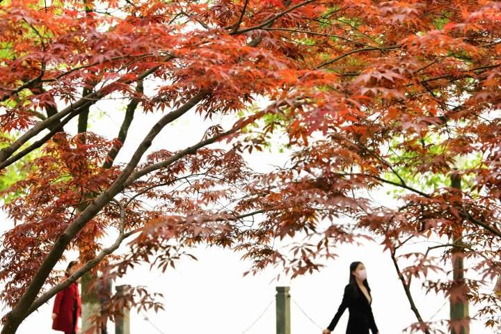 西湖枫红(里尔摄影)3.jpg