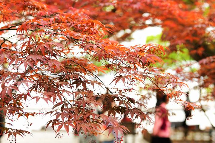 西湖枫红(里尔摄影)4.jpg
