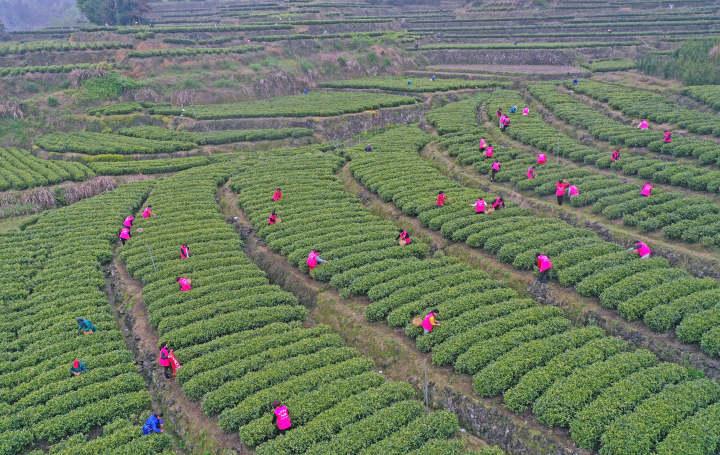 百名志愿者助农采春茶1.jpg