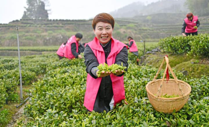 百名志愿者助农采春茶5.jpg
