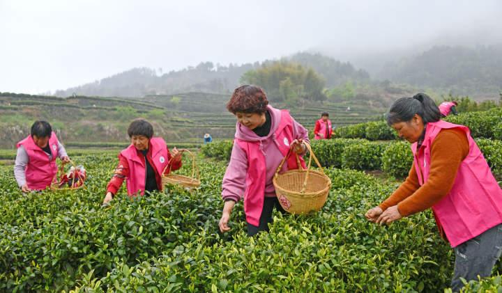 百名志愿者助农采春茶6.jpg