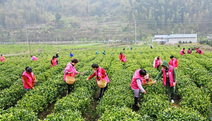 百名志愿者助农采春茶8.jpg